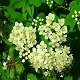Bird Cherry White Flowers - VideoHive Item for Sale