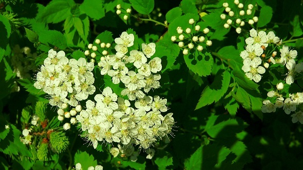 Bird Cherry White Flowers
