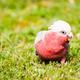 Galah cockatoo - PhotoDune Item for Sale