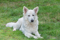 White Swiss Sheepdog - PhotoDune Item for Sale
