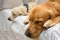 Two dog lying on the bed - PhotoDune Item for Sale