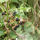 Blackberry Berries in Forest - VideoHive Item for Sale