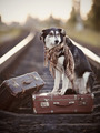 Black-and-white dog sits on a suitcase on rails - PhotoDune Item for Sale