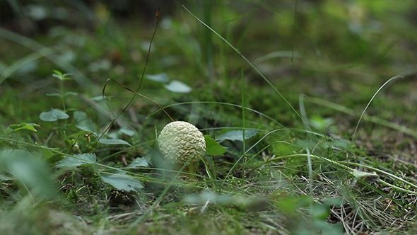 Little White Mushroom