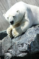 A Thinking Polar Bear - PhotoDune Item for Sale