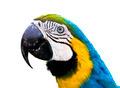 Parrot Ara ararauna - PhotoDune Item for Sale