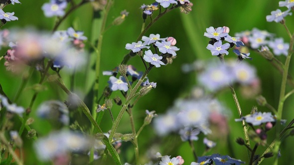 Forget-Me-Nots Small Blue Flowers