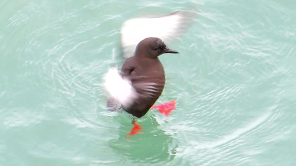 Black Guillemot Take Shower On Sea