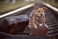 Dog on rails with suitcases. - PhotoDune Item for Sale
