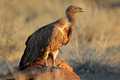 Scavenging white-backed vulture - PhotoDune Item for Sale