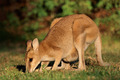 Agile Wallaby - PhotoDune Item for Sale