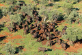 African buffalo herd - PhotoDune Item for Sale