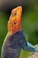 Rainbow agama - PhotoDune Item for Sale