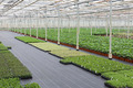 Cultivation of cupressus in a Dutch greenhouse - PhotoDune Item for Sale