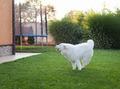 Samoyed dog outdoor - PhotoDune Item for Sale