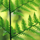 Ferns In Summer Close Up - VideoHive Item for Sale