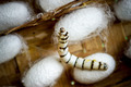 group of silk worm cocoons in nests - PhotoDune Item for Sale