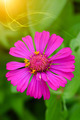 zinnia flowers to create a beautiful and naturalp - PhotoDune Item for Sale