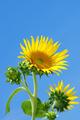 Sunflowers - PhotoDune Item for Sale