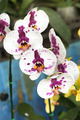 Beautiful orchid - phalaenopsis. - PhotoDune Item for Sale