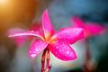 Tropical flowers frangipani (plumeria) - PhotoDune Item for Sale