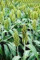 Sorghum or Millet field - PhotoDune Item for Sale