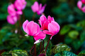 Pink gorgeous cyclamen flower - PhotoDune Item for Sale