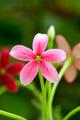 Rangoon creeper flower - PhotoDune Item for Sale
