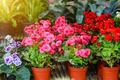 begonia flower. - PhotoDune Item for Sale