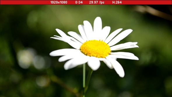 Daisy In Wind