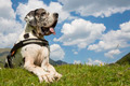great dane lying on the field - PhotoDune Item for Sale