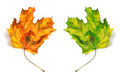 Yellowed autumn maple-leafs - PhotoDune Item for Sale