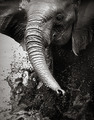 Elephant splashing water - PhotoDune Item for Sale