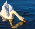 Swan - PhotoDune Item for Sale