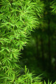 bamboo leaves - PhotoDune Item for Sale