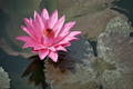 Pink water lily with brown leaves on the surface of a pond close - PhotoDune Item for Sale
