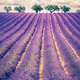 Lavender field with trees - PhotoDune Item for Sale