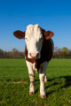 White and brown cow on green grass - PhotoDune Item for Sale