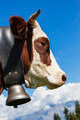 Brown cow in alpine mountain - PhotoDune Item for Sale