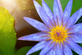 Beautiful waterlily Hybrid flower. - PhotoDune Item for Sale