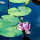 Amazon water lily - PhotoDune Item for Sale