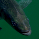 Fish in the Lake - VideoHive Item for Sale