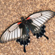 Swallowtail butterfly - Papilio anchisiades - PhotoDune Item for Sale