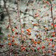 Ice-Covered Branch Of Wild Rose - VideoHive Item for Sale