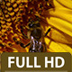 Bee Hovering Over a Sunflower 1 - VideoHive Item for Sale