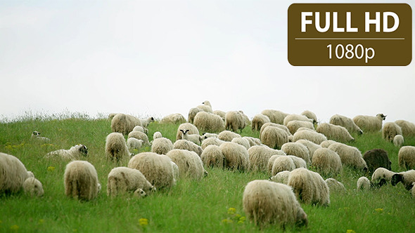 Group of Sheeps Grazing in the Field 1