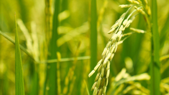 Spike Rice