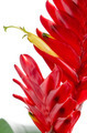 Bromelia Flower - PhotoDune Item for Sale