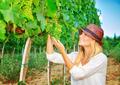 Woman plucks grapes - PhotoDune Item for Sale