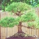 Bonsai Pine Tree - PhotoDune Item for Sale